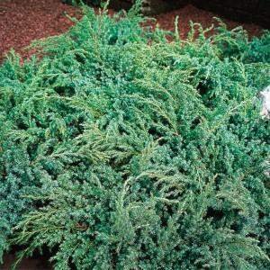 """Ienupăr semitârâtor (Juniperus squamata """"Hunnetorp"""")"""