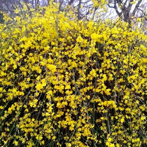 """Iasomia de iarnă (""""Jasminum nudiflorum"""")"""