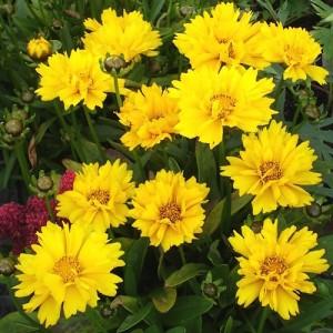 "Coreopsis grandiflora ""Illico"""