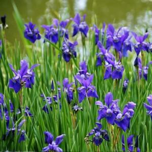 Stânjenel cu florile albastru spre mov (Iris louisiana)