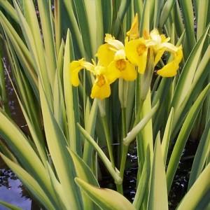 Stânjenel de baltă cu frunza variegată (Iris pseudacorus 'Variegata')