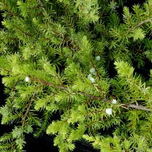 """Ienupăr verde (Juniperus conferta """"Schlager"""")"""