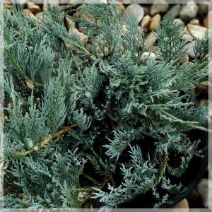 """Ienupăr albastru (Juniperus sabina """"Balaton"""")"""