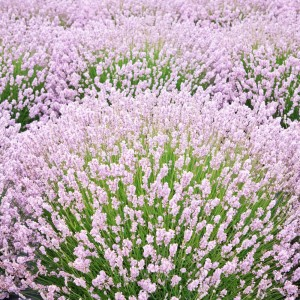 "Lavanda cu florile roz (Lavandula Angustifolia ""Rosea"")"