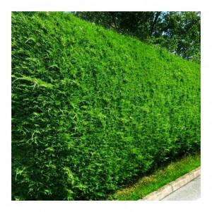 Leiland verde-albăstrui 100-125cm (Cupressocyparis leylandii)