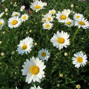 """Margareta (Leucanthemum x superbum """"Becky"""")"""