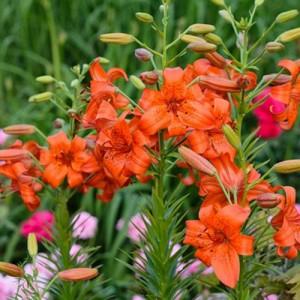 Crin imperial portocaliu (Lilium 'Fire King')