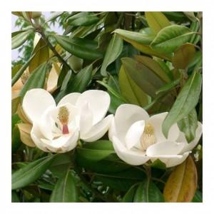 "Magnolia veșnic verde (""Magnolia grandiflora"")"