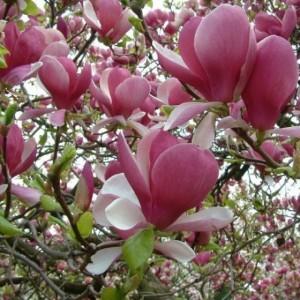 """Magnolia cu flori roz în formă de cupă - Magnolia x Soulangeana (""""Rustica Rubra"""")"""