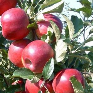 "Măr de iarnă ""Jonathan"""