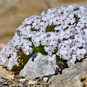 Brumărele cu flori albe și centrul mov (Phlox subulata 'Coral Eye')