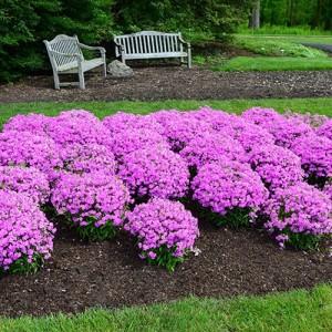 Brumărele compacte cu florile roz (Phlox glaberrima 'Forever Pink')