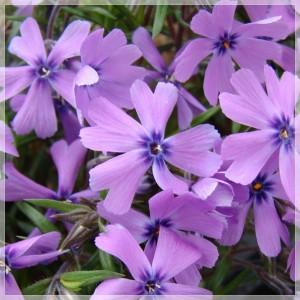 "Phlox subulata (""Purple Beauty"")"