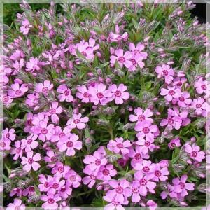 """Brumărele târâtoare roz (Phlox subulata """"Zwergenteppich"""")"""