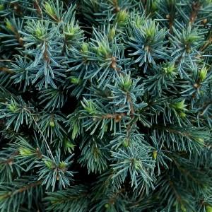 """Picea glauca """"Echiniformis"""""""