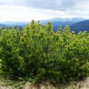 Jneapăn (Pinus mugo)