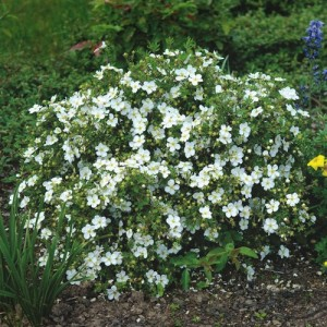 Potentilla cu flori albe