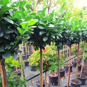 Laur altoit pe trunchi (Prunus laurocerasus 'Etna')
