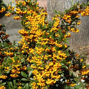 "Piracanta cu fructe galbene (Pyracantha coccinea ""Soleil d""Or"")"