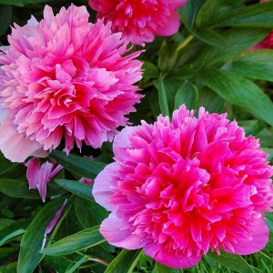 """Bujor cu flori roz (Paeonia Officinalis """"Rosea Plena"""")"""