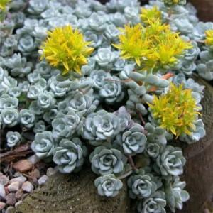 Iarbă grasă ușor argintie (Sedum spatulifolium 'Cape Blanco')