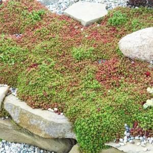 Iarbă grasă verde (Sedum album 'Coral Carpet')