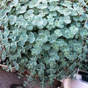 Iarbă grasă albastră (Sedum sieboldii)