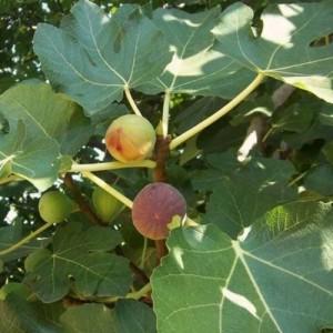 Smochin - Ficus carica