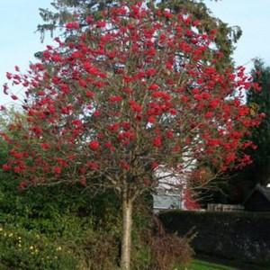 Scoruș ornamental (Sorbus 'Titan')