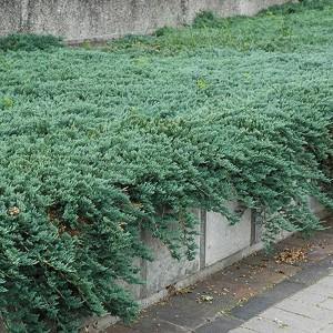 "Ienupăr orizontal albastru (Juniperus horizontalis ""Emerald Spreader"")"