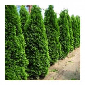 "Tuia verde 80+ cm (Thuja occidentalis ""Smaragd"")"