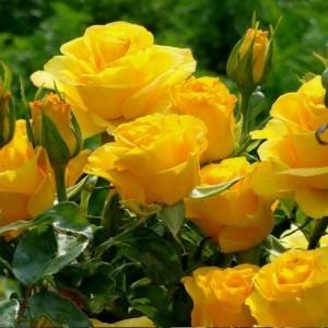 Trandafir teahibrid galben - Kerio