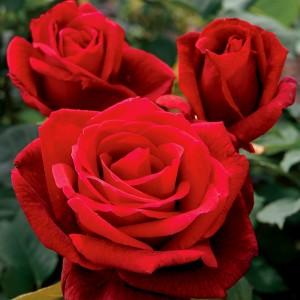 Trandafir teahibrid roșu - Mister Lincoln