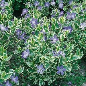 "Saschiu cu flori mari și frunze variegate (Vinca major ""Variegata"")"