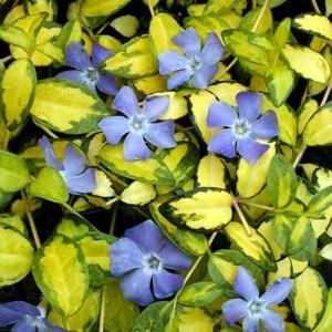 Saschiu cu frunzele variegate (Vinca minor 'Illumination')