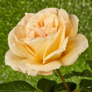 "Trandafir galben pal - ""Casanova"""