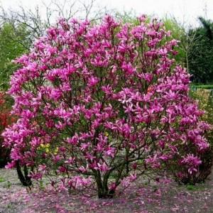 "Magnolia cu flori roz (Magnolia ""Susan"")"
